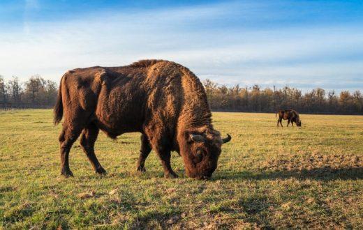 La réserve de bisons de Bucsani