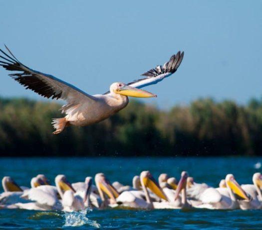Pélicans blancs Delta du Danube