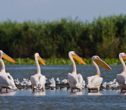 Pélicans dans le delta
